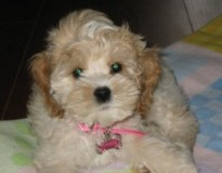 My cockapoo Angel laying on her blanket when she was a puppy.