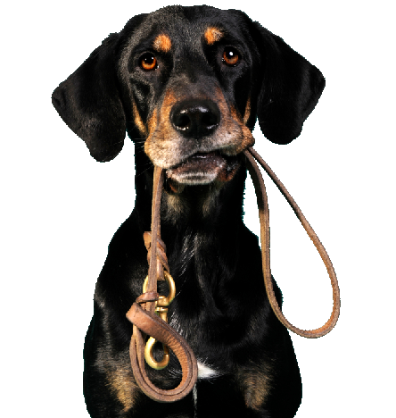 Black dog holding a leash in his mouth